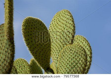 Opuntia cactus.