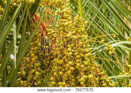 Date palm fruit.