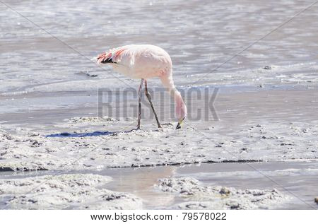 Bolivia, Antiplano, Canapa Lake - James's flamingo