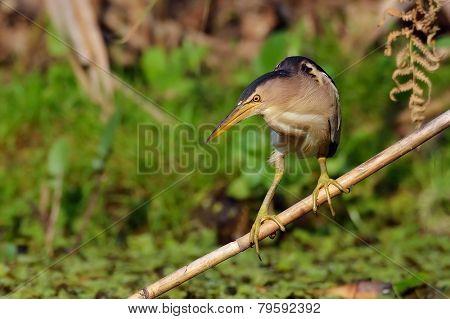 little bittern watching (ixobrychus minutus)