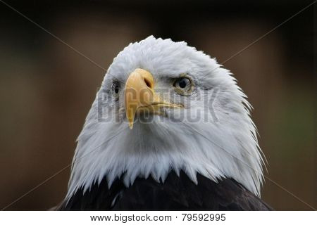 Bald eagle (Haliaeetus leucocephalus), national bird of the United States of America.
