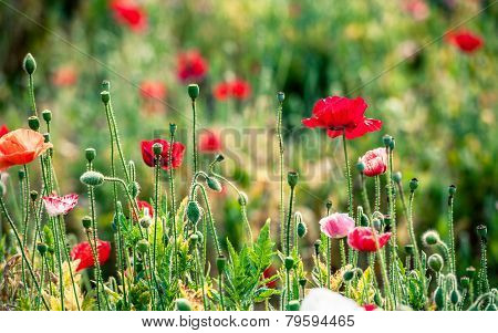 Opium Poppy Flower In Garden At Angkhang Mountain Thailand