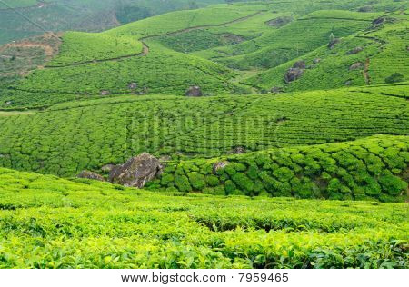 India - Tea Plantation