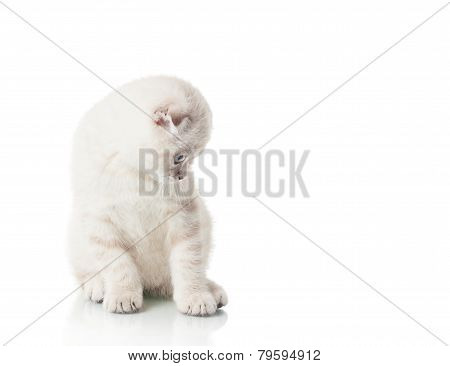 Kitten Of Scottish Fold Breed