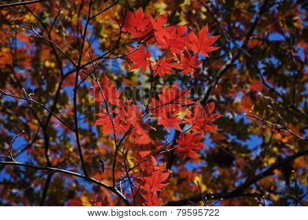 Red Maple Leaves and Blue Sky Background South Korea