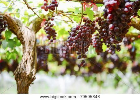 fresh Grape wait for harvest Grape Farm Tak ,Thailand