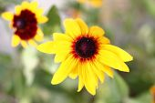picture of black-eyed susans  - Bright yellow rudbeckia or Black Eyed Susan flowers in the garden - JPG