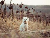stock photo of westie  - dog breeds White Terrier walks in the autumn field - JPG