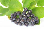 pic of aronia  - Ripe purple chokeberry  - JPG