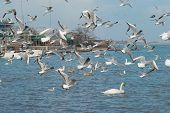 pic of flock seagulls  - Flock of seagulls flying above the sea - JPG