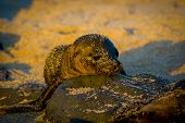 picture of sea lion  - baby sea lion at sunset in galapagos islands ecuador - JPG