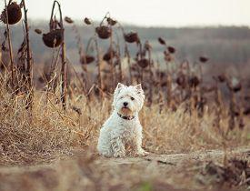 picture of westie  - dog breeds White Terrier walks in the autumn field - JPG