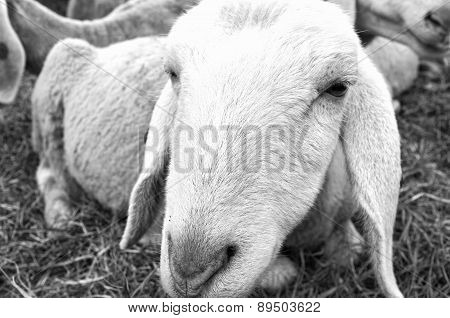 Sheep closeup. Black and white photo