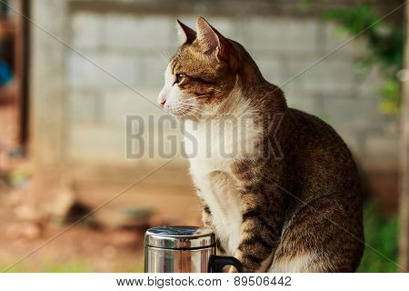 Thai Cat With   Brown Stripes Are  Sat Looking