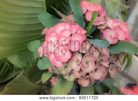 Euphorbia Milli Desmoul