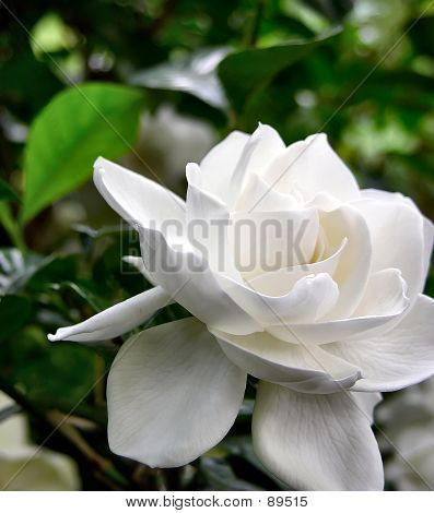 Flower - Stunning White Wedding Gardenia