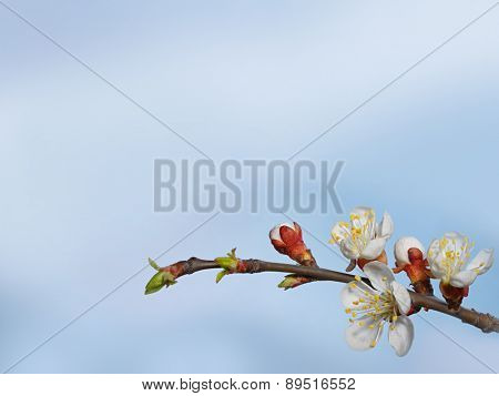 Beautiful pink cherry blossom on a blue background.Close up