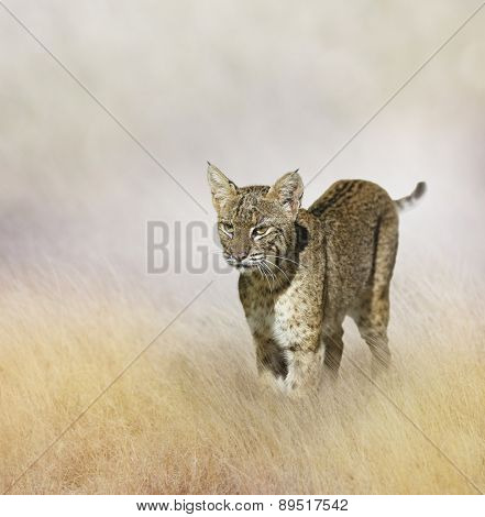 Bobcat Walking In The Grass