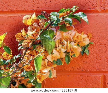 Orange Bougainvillea Wall Mexico City Mexico