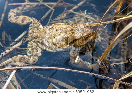 Frog - Common Toad
