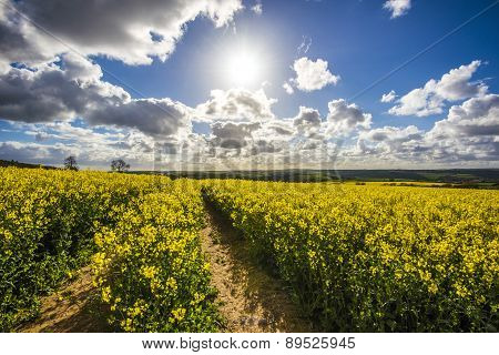 Rapeseed fields with blue sky at Morval, Cornwall, UK