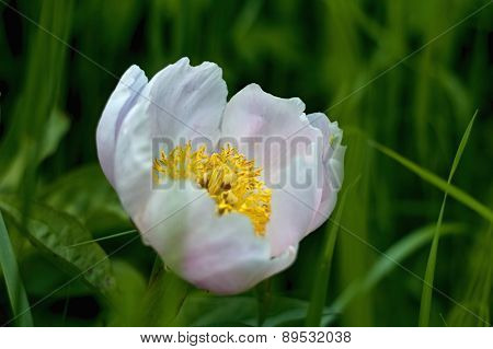 Wild peony with a delicate pink shade, Paeonia