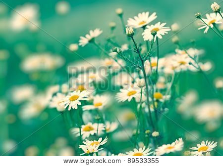 Soft focus on daisy flowers