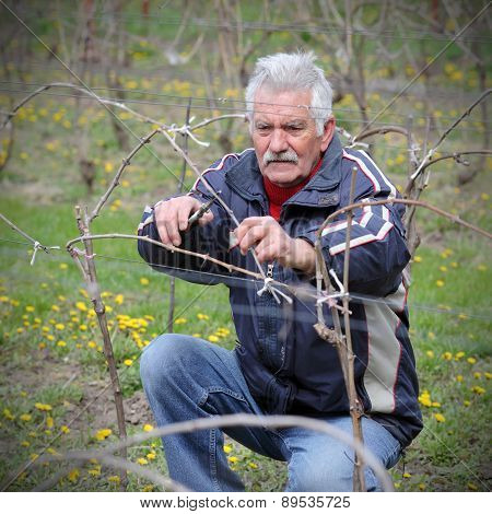 Agriculture, Pruning In Vineyard, Senior Man Working