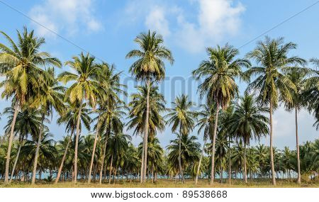 Coconut Plantation In Thailand
