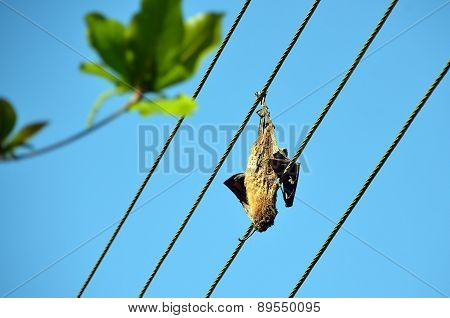 Dead Dried Big Bat On The Power Line