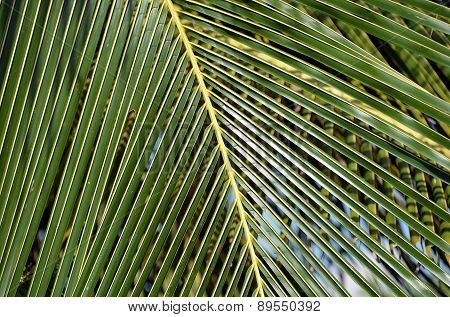 Big And Green Palm Leaf Close-up Detail Photo