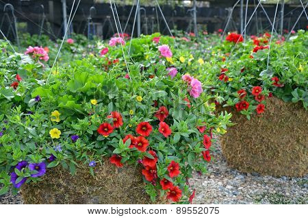 Colorful Little Petunia Hanging Baskets