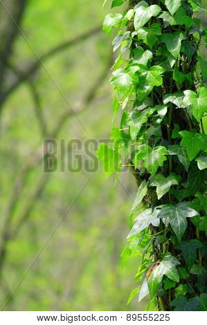 Ivy growing up the side of a tree
