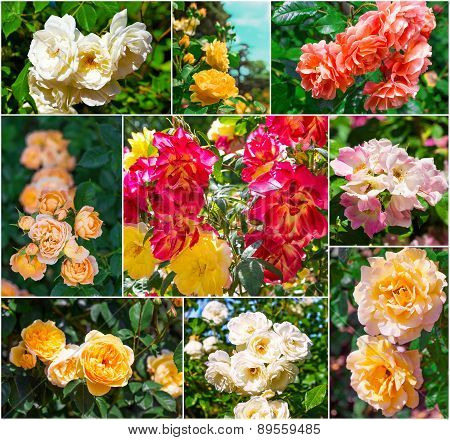 Beautiful Pink And Yellow Roses, Collection
