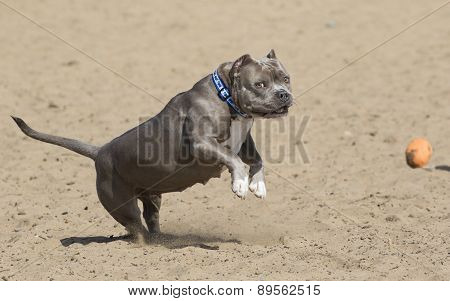 Pitbull on two legs playing with a ball