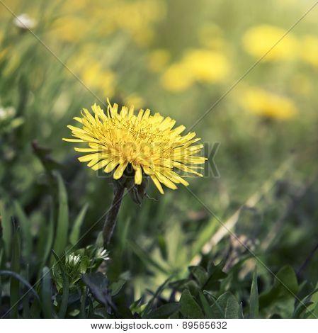 Blown Yellow Dandelion Flower Close Up