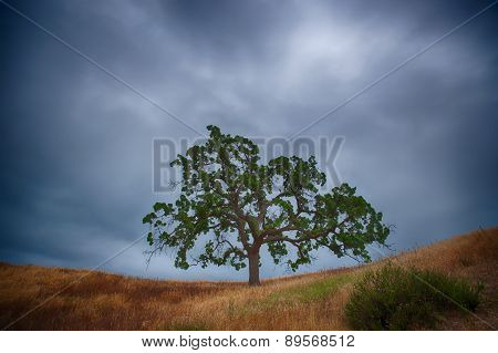 Grass Field And Oak Tree