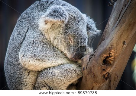 Gray Koala Bear Sleeping