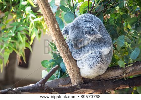 Koala Sits On Branch