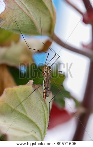 Asian Mosquito in garden.