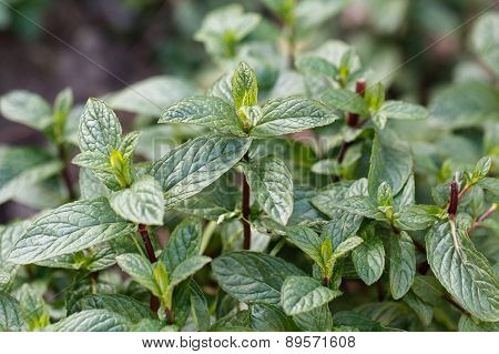 Mint plant grown at vegetable garden.