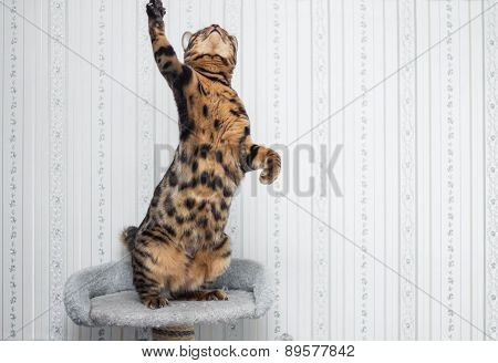 Bengal cat ready to pounce