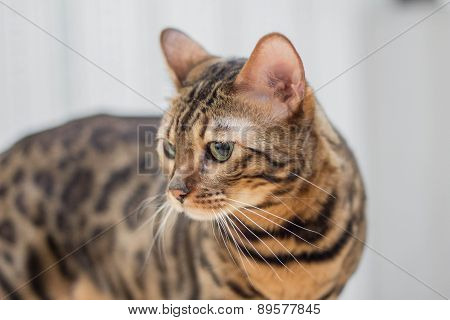 Bengal cat looking into the distance