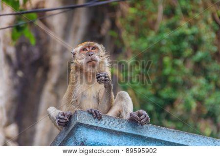 Wild Monkey In Malaysia..