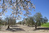 foto of olive trees  - Lonely pear tree branch full bloom in the middle of an olive trees cultivation field - JPG