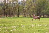 stock photo of  bucks  - Buck deer on the run in the wild - JPG