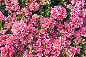 image of azalea  - Closeup of a flowering azalea shrub in a garden - JPG