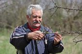 stock photo of prunes  - Senior man pruning tree in orchard active retirement selective focus on face - JPG