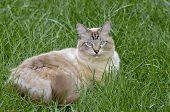 picture of siamese  - A beautiful Siamese - JPG