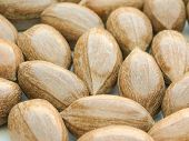 picture of pecan nut  - a bunch of pecan nuts useful as a background - JPG